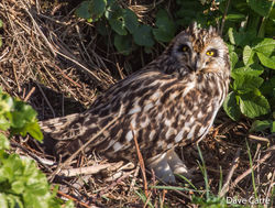 Short-eared Owl photographed at Mt. Herault [MHE] on 24/2/2019. Photo: © Dave Carre