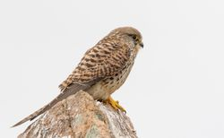 Kestrel photographed at Fort Hommet [HOM] on 1/3/2019. Photo: © Rod Ferbrache