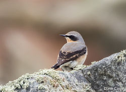 Wheatear photographed at Pulias [PUL] on 1/3/2019. Photo: © Dave Carre
