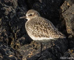 Grey Plover photographed at Pleinmont [PLE] on 4/3/2019. Photo: © Dave Carre