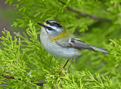Firecrest photographed at St Peter Port [SPP] on 19/3/2019. Photo: © Mike Cunningham