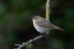 Chiffchaff photographed at Rue des Bergers [BER] on 20/3/2019. Photo: © Rod Ferbrache