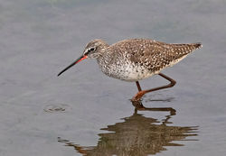 Spotted Redshank photographed at Vale Pond [VAL] on 2/4/2019. Photo: © Anthony Loaring