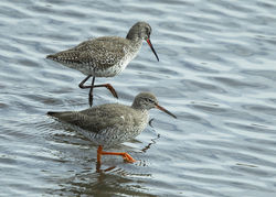 Spotted Redshank photographed at Vale Pond [VAL] on 4/4/2019. Photo: © Mike Cunningham