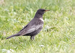 Ring Ouzel photographed at L'Ancresse [LAN] on 6/4/2019. Photo: © Anthony Loaring