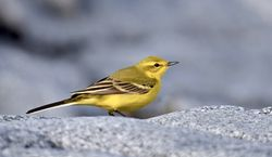 Yellow Wagtail photographed at Fort Le Crocq [FLC] on 7/4/2019. Photo: © Adrian Bott