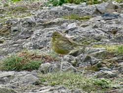 Cirl Bunting photographed at La Congrelle, Pleinmont on 8/4/2019. Photo: © Wayne Turner