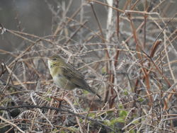 Grasshopper Warbler photographed at Pleinmont [PLE] on 9/4/2019. Photo: © Chris Massey