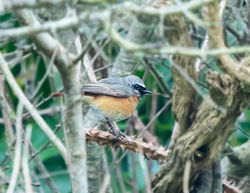 Redstart photographed at Pleinmont [PLE] on 9/4/2019. Photo: © Mike Cunningham