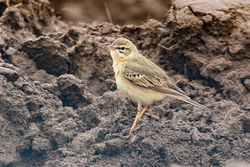Tawny Pipit photographed at Pleinmont [PLE] on 10/4/2019. Photo: © Rod Ferbrache