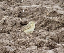 Tawny Pipit photographed at Pleinmont [PLE] on 10/4/2019. Photo: © Mark Guppy