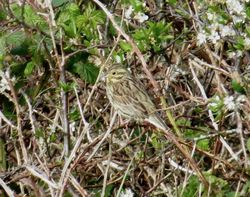 Cirl Bunting photographed at Pleinmont [PLE] on 11/4/2019. Photo: © Mark Guppy
