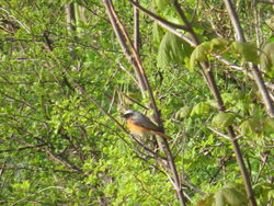 Redstart photographed at Le Vardes Quarry on 11/4/2019. Photo: © Mark Guppy