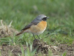 Redstart photographed at Pleinmont [PLE] on 12/4/2019. Photo: © Mike Cunningham