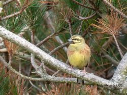 Cirl Bunting photographed at Pleinmont [PLE] on 14/4/2019. Photo: © Andy Marquis