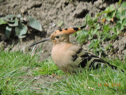Hoopoe photographed at La Villette on 14/4/2019. Photo: © Dave Marquand