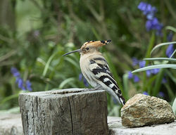 Hoopoe photographed at La Villette on 14/4/2019. Photo: © Mike Cunningham