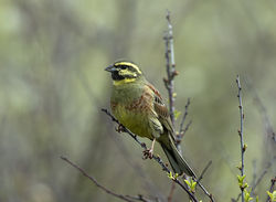 Cirl Bunting photographed at Pleinmont on 16/4/2019. Photo: © Mike Cunningham