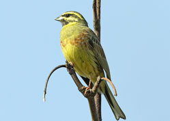 Cirl Bunting photographed at Pleinmont [PLE] on 19/4/2019. Photo: © Mike Cunningham