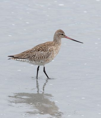 Bar-tailed Godwit photographed at Richmond [RIC] on 24/4/2019. Photo: © Rod Ferbrache