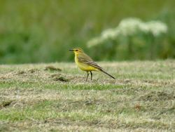 Yellow Wagtail photographed at Tourgis Hill on 26/4/2019. Photo: © Wayne Turner