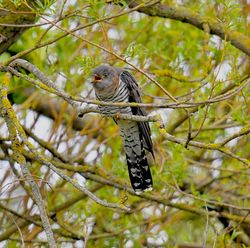 Cuckoo photographed at Rue des Bergers on 28/4/2019. Photo: © Adrian Bott