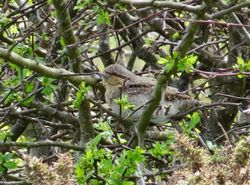 Wryneck photographed at Mannez Garenne on 24/4/2019. Photo: © Mark Guppy