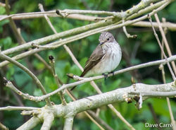 Spotted Flycatcher photographed at Select location on 3/5/2019. Photo: © Dave Carre