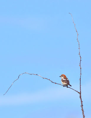 Woodchat Shrike photographed at Mannez Garenne  on 30/4/2019. Photo: © ABO