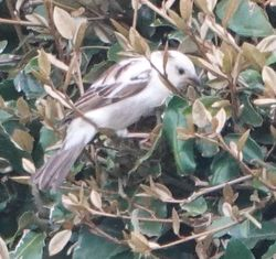 House Sparrow photographed at jerbourg on 9/5/2019. Photo: © lorna harborow