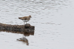 Temminck's Stint photographed at Claire Mare [CLA] on 18/5/2019. Photo: © Rod Ferbrache