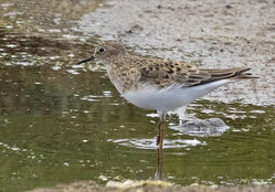 Temminck's Stint photographed at Claire Mare [CLA] on 18/5/2019. Photo: © Anthony Loaring