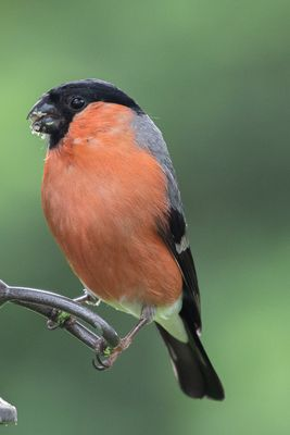 Bullfinch photographed at Bas Capelles [BAS] on 12/6/2019. Photo: © Rod Ferbrache
