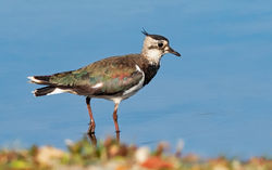 Lapwing photographed at Claire Mare [CLA] on 12/7/2019. Photo: © Anthony Loaring