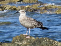 Yellow-legged Gull photographed at Rocquaine [ROC] on 7/8/2019. Photo: © Wayne Turner