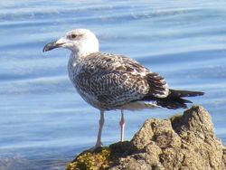Yellow-legged Gull photographed at Rocquaine [ROC] on 22/8/2019. Photo: © Wayne Turner
