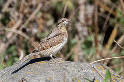 Wryneck photographed at Pulias [PUL] on 4/9/2019. Photo: © Rod Ferbrache