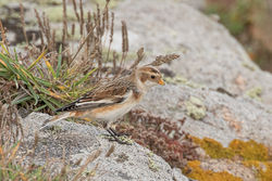 Snow Bunting photographed at Grandes Rocques [GRO] on 5/10/2019. Photo: © Rod Ferbrache