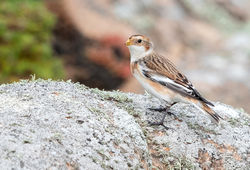 Snow Bunting photographed at Grandes Rocques [GRO] on 5/10/2019. Photo: © Anthony Loaring
