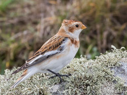 Snow Bunting photographed at Pulias [PUL] on 17/10/2019. Photo: © Dave Carre