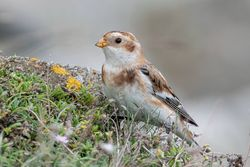Snow Bunting photographed at Pulias [PUL] on 17/10/2019. Photo: © Rod Ferbrache