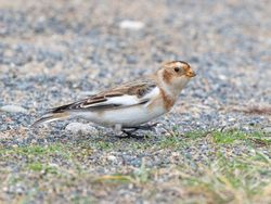 Snow Bunting photographed at Pembroke [PEM] on 25/10/2019. Photo: © Rod Ferbrache