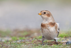 Snow Bunting photographed at L'Ancresse [LAN] on 26/10/2019. Photo: © Andy Marquis