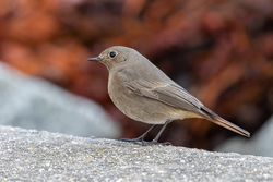 Black Redstart photographed at Perelle [PER] on 4/11/2019. Photo: © Rod Ferbrache