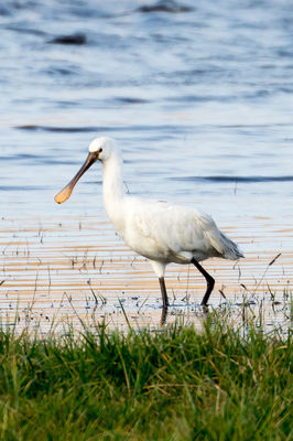 Spoonbill photographed at Claire Mare [CLA] on 24/12/2019. Photo: © Tim Maclure