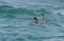 Red-breasted Merganser photographed at Shingle Bank [SHI] on 17/1/2020. Photo: © Dave Carre