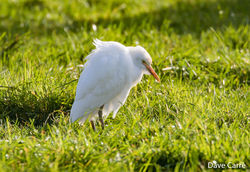 Cattle Egret photographed at Rue des Boulains on 22/1/2020. Photo: © Dave Carre