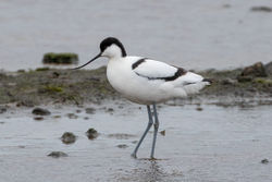 Avocet photographed at Colin Best NR [CNR] on 22/3/2020. Photo: © Rod Ferbrache
