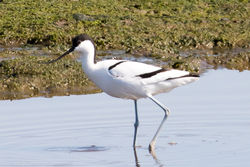 Avocet photographed at Colin Best NR [CNR] on 24/3/2020. Photo: © Tim Maclure