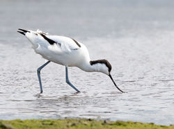Avocet photographed at Colin Best NR [CNR] on 22/3/2020. Photo: © Anthony Loaring